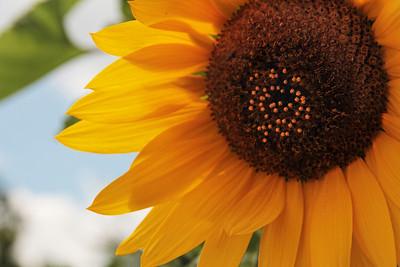 Sunflower and Sky Charlotte, NC
