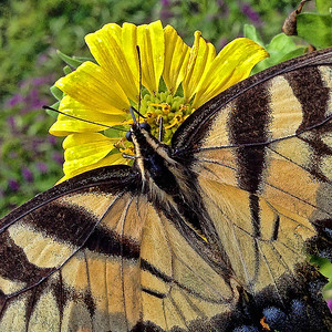 Tiger Swallowtail Butterfly at Daniel Stowe Botanical Garden