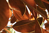 Fall's Coming<br /> Magnolia Leaves in Charlotte, NC