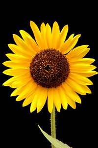 Sunflower on Black Charlotte, NC