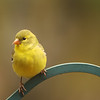 Yellow Finch 1<br /> Gilford, NH