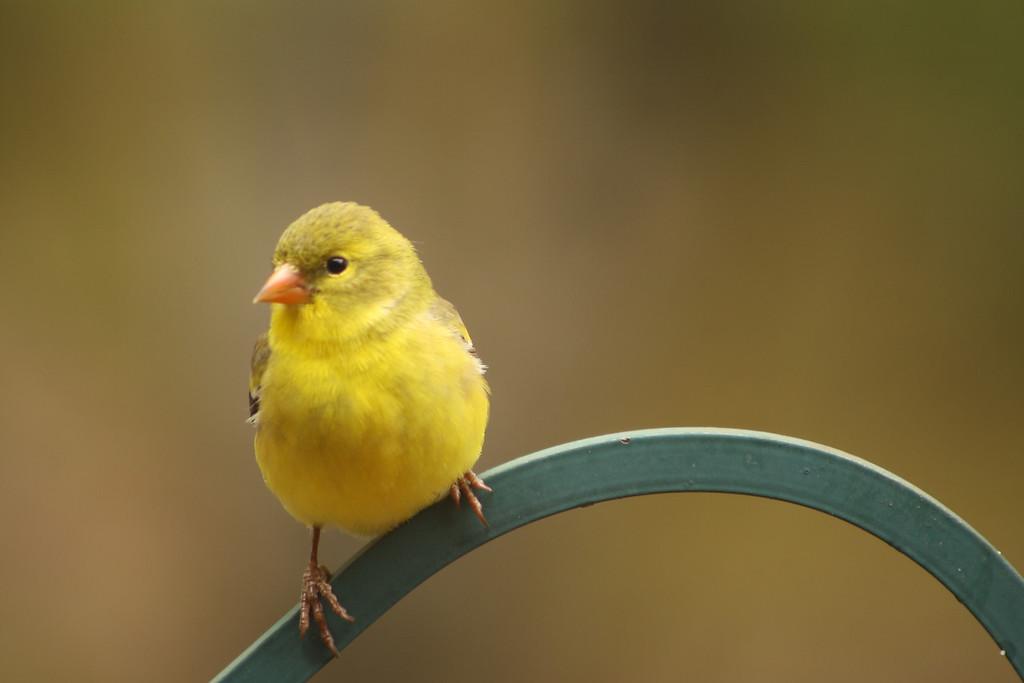 Yellow Finch 1<br /> Gilford, NH