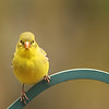 Yellow Finch 2<br /> Gilford, NH