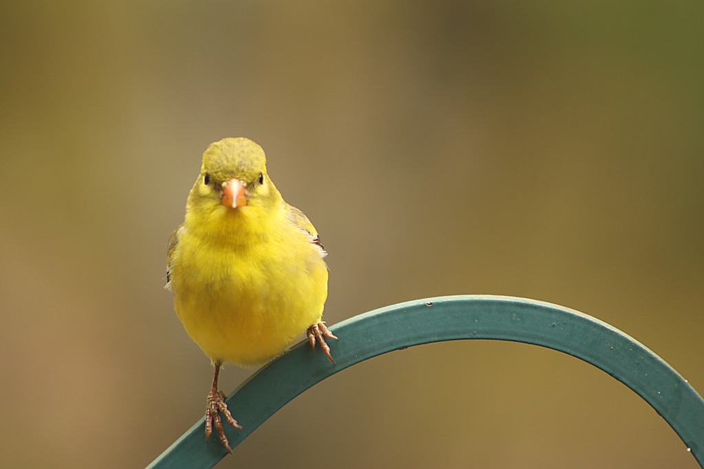 Yellow Finch 2<br /> Gilford, NH