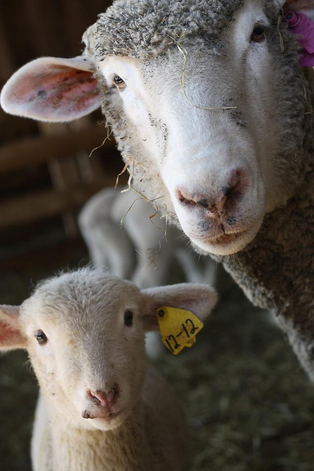 Lookin' At Ewe<br /> Ramblin Vewe Farm, Gilford, NH