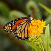 Belknap Butterfly 3<br /> At Belknap Mill Garden<br /> Laconia, NH