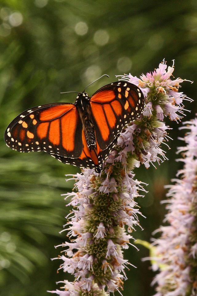 Belknap Butterfly 2<br /> At Belknap Mill Garden<br /> Laconia, NH