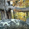 The Perley Tree - Long Arm<br /> Laconia, NH
