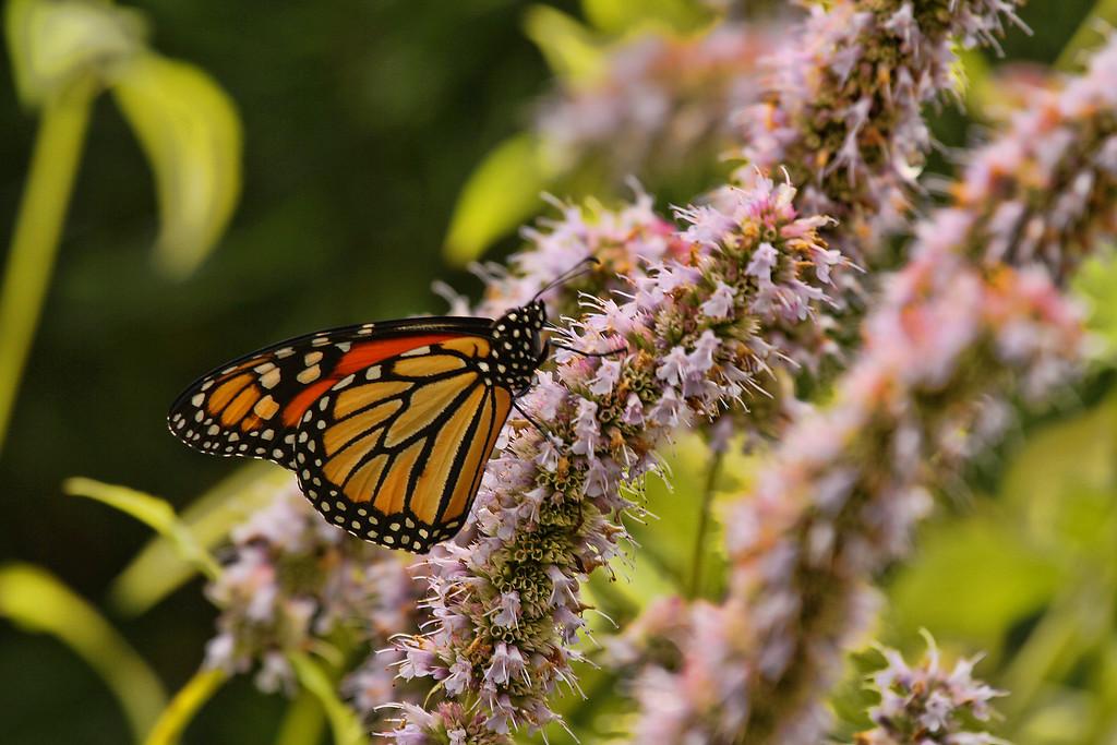 Belknap Butterfly<br /> At Belknap Mill Garden<br /> Laconia, NH