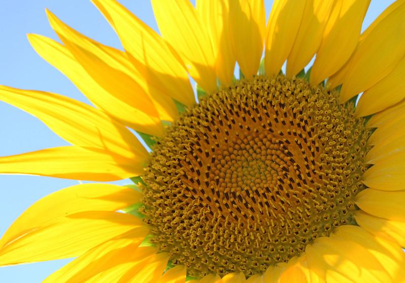 Aug 2013 Geneve Vandouvre region sunflower 9