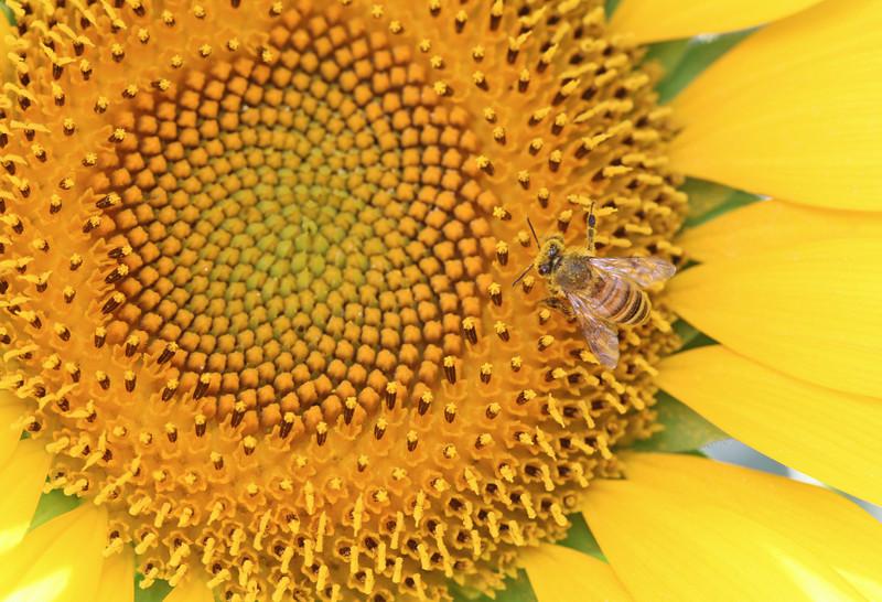 Aug 2013 Geneve Vandouvre region sunflower 12