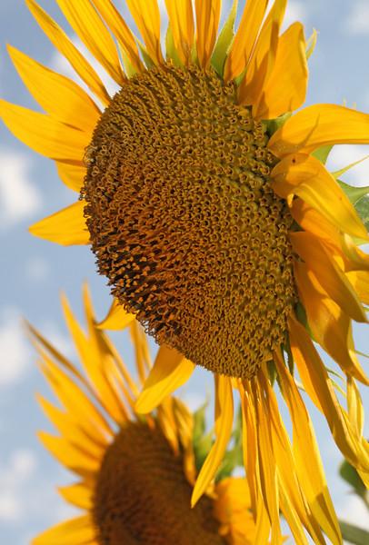 Aug 2013 Geneve Vandouvre region sunflower 16