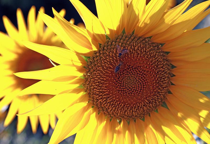 Aug 2013 Geneve Vandouvre region sunflower 5