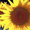 Aug 2013 Geneve Vandouvre region sunflower 5