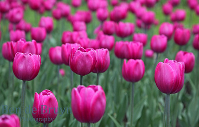 Bright pink tulips at Moscow flower show in late spring