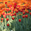 Bright orange tulips at Moscow flower show in late spring