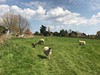 Lesley - Sheep may safely graze