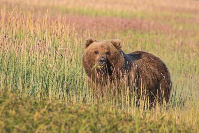 Brown bear sow
