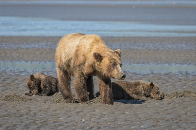 Young sow with spring cubs.