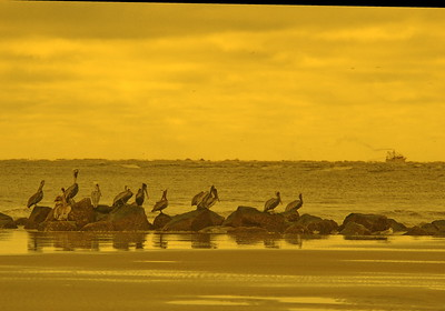 Pelican Party on the Breakers