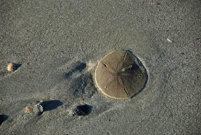 Live Sand Dollar on beach