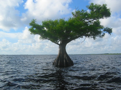 Cypress in Water