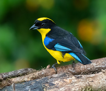 Blue-winged Mountain Tanager,