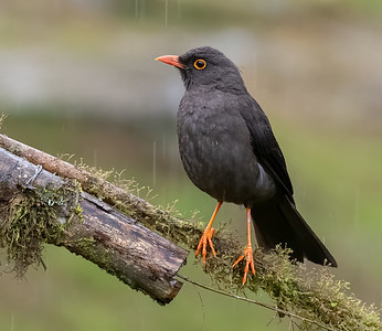 Great Thrush