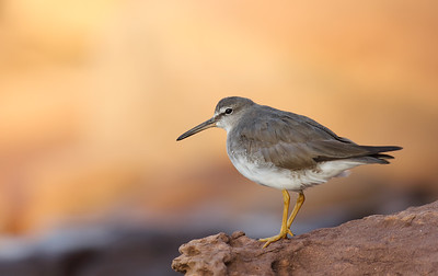 Grey-tailed Tattler (Tringa brevipes) adult