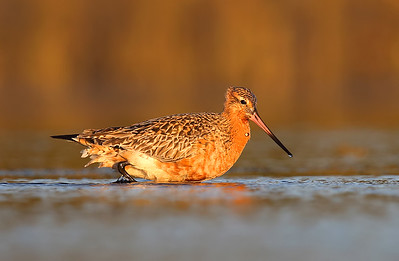 Bar-tailed Godwit (Limosa lapponica) in breeding plumage wading.