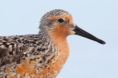 Red Knot (Calidris canutus) adult in breeding plumage