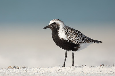 Black-bellied Plover (Pluvialis squatarola) adult in breeding plumage