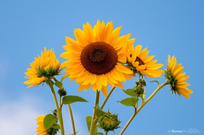 Sunflowers, Napa 2009