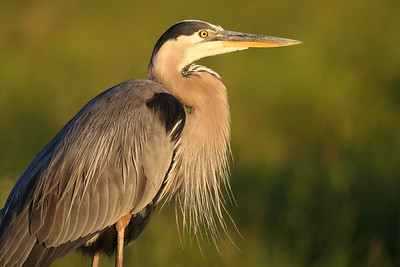 Great Blue Heron (Ardea herodias) adult