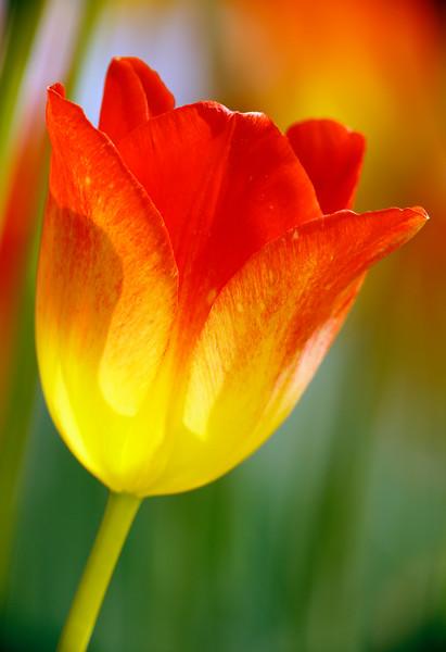 Tulip 744 13x19