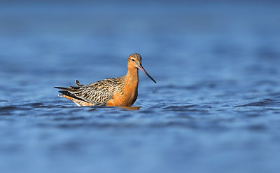 Bar tailed Godwit (Limosa lapponica) in breeding plumage feeding.
