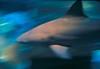 shark pan3