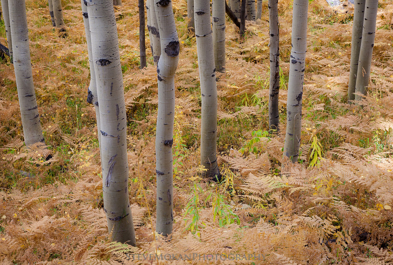 Not only do the aspens change, but so do the ground cover ferns.