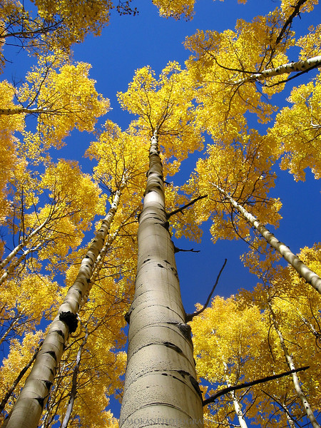 Daydreaming- a beautiful aspen tree just outside of Aspen, Colorado