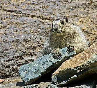 Marmot Patrol