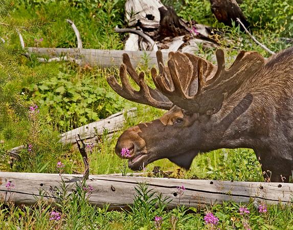 Moose Posey