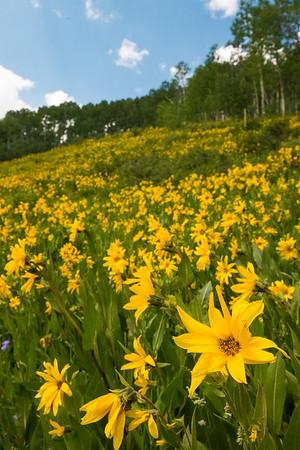 Mule's Ears Sunflowers