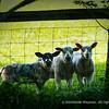 English Spring Lamb