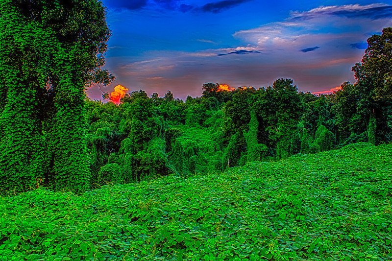 Kudzu Reverse Sunset.  (Japanese Arrowroot). Unknown to landowners the plant is edible and has Medicinal uses, Animal feed, Basketry. I was driving down a country road and caught this view. This was taken as the sunset behind me a rain storm was passing through with an opening. A dark cloud blocked the sun from my view and prevented it from shining on the Kudzu but the open sky and clouds had the shine. I was standing next to the road with traffic passing by and to get as much of the gorge tripod extended above my head. Had to work fast because the glowing clouds were disappearing behind the trees.   Used Promote Control set at .3 and 17 shots so +/- 3AV post processed with HDR Efex Pro 2, Dfine 2, Color Efex Pro 4.