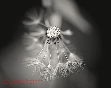 Dandelion 02