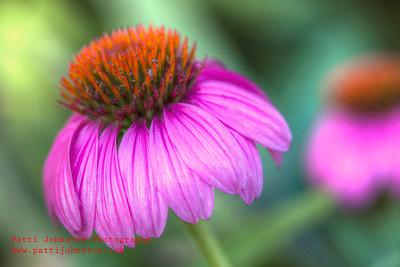 Echinacea 01