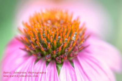 Echinacea 02