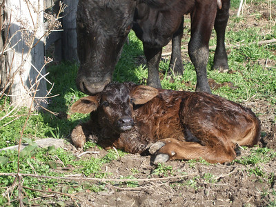 new born calf being cleaned by cow