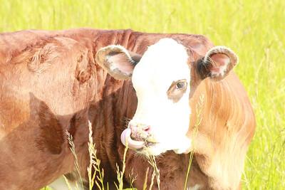 calf toung in nose