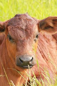 Calf Face